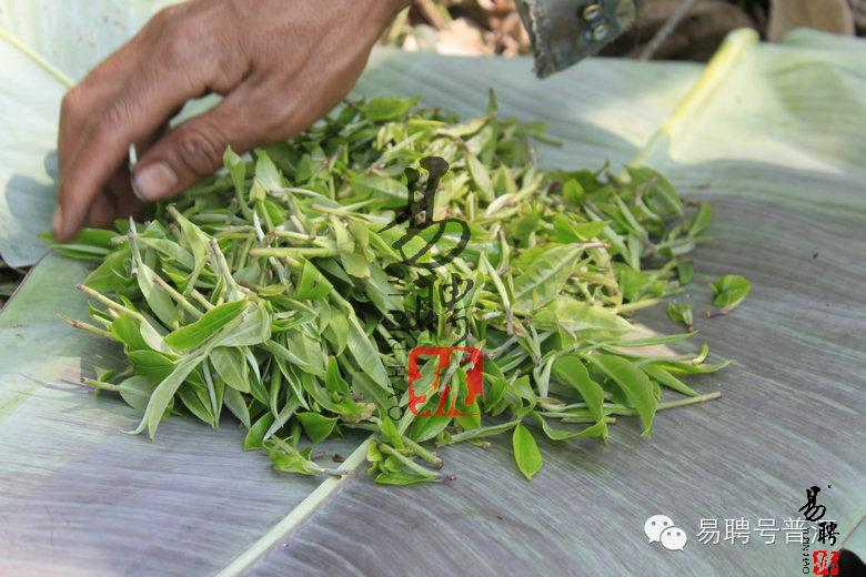 你所不知道的曼松王子山古树茶