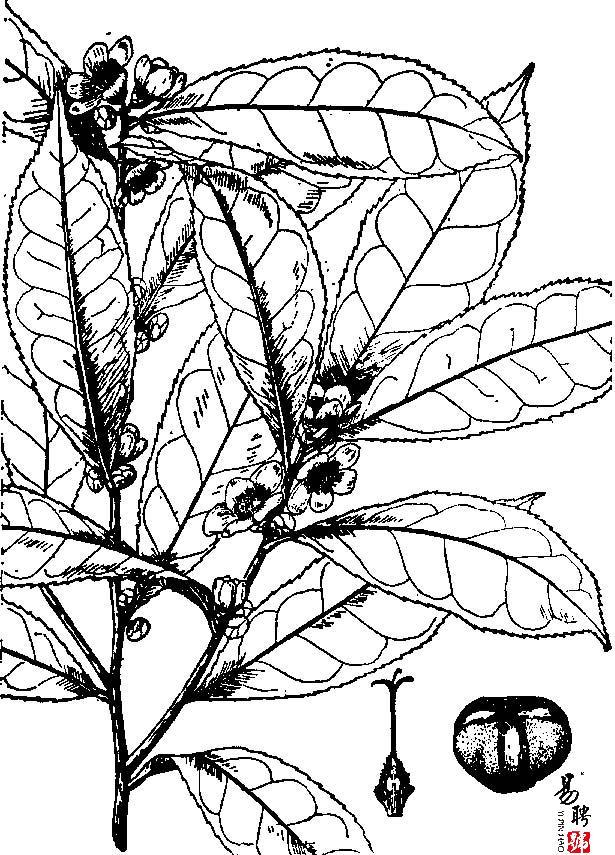 茶与普洱茶的命名形态、习性与特点
