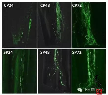 授粉24小时后,自交授粉(SP)花柱中花粉管的生长速度明显慢于杂交授粉(CP)花柱。