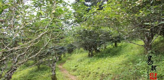 易武古茶山