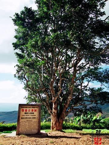 邦崴古茶山